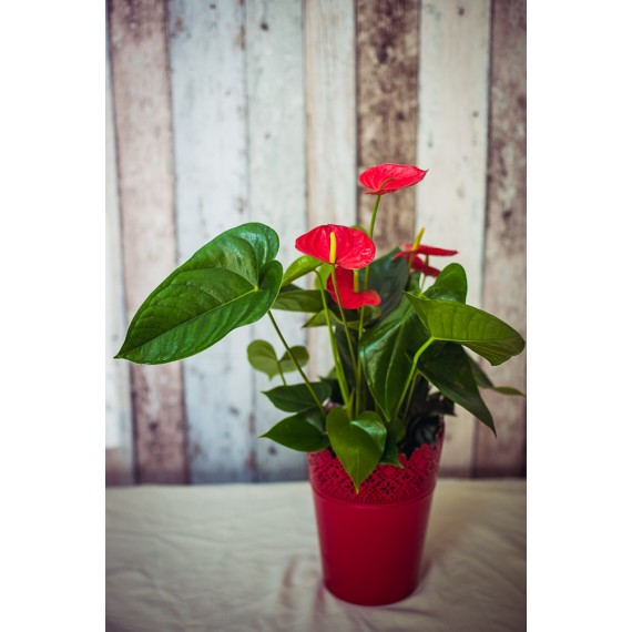 Anthurium in Ghiveci