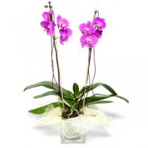 Orhidee Mov in Ghiveci