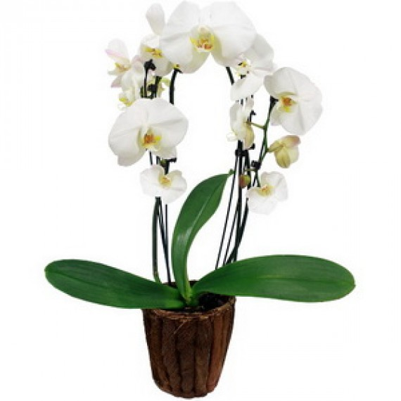 Orhidee Delicata in ghiveci
