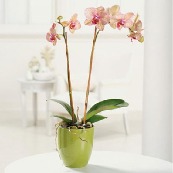 Orhidee Exotica in Ghiveci