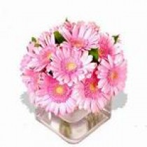 Gerbera in Roz