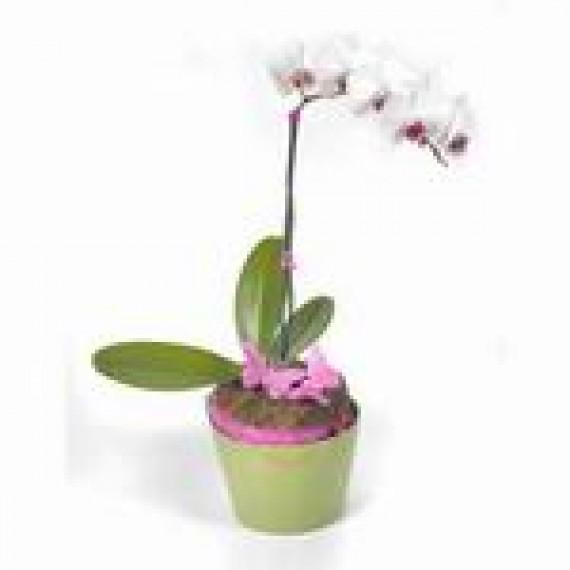 Orhidee Alba in Ghiveci
