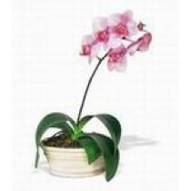 Orhidee Alb-roz in Ghiveci